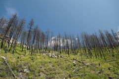 Forest Fire Aftermath Royalty Free Stock Photo