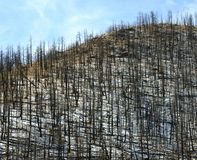 Forest Fire Aftermath. Burned trees on a hill Stock Image