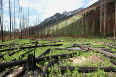 Forest Fire Aftermath Royalty Free Stock Images
