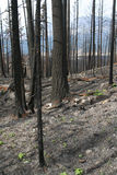 Forest fire aftermath - snags of spruce Royalty Free Stock Images