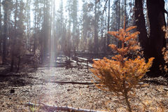 Forest Fire Aftermath with Sunlight Royalty Free Stock Photos