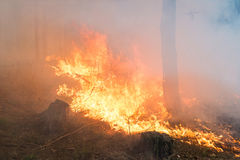 Forest fire. Big flame Royalty Free Stock Image