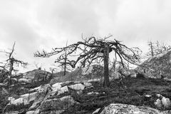 After Forest Fire. black and white. Dead trees after forest fire Stock Images