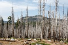 Forest fire burn leaves evidence of damage in pine forest of Lassen National Parkland Royalty Free Stock Photo