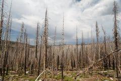 Forest fire burn leaves evidence of lasting  damage on landscape in Alpine forest of Lassen National Parkland Stock Photo