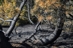 A forest after fire, burned pine is all that is left Stock Photos