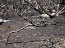 Forest after fire with burned trees Stock Image