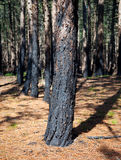 Forest after fire with burned trees Royalty Free Stock Images
