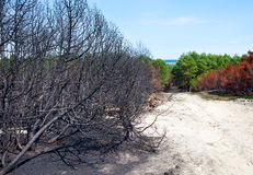 Forest after fire with burned trees Royalty Free Stock Photography