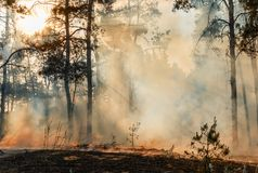 Coniferous forest in fire stock photos