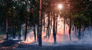 Coniferous forest in fire stock image