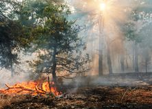 Forest fire. Burned trees after wildfire, pollution and a lot of smoke. stock photography