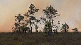 Forest wildfire. Burning field of dry grass and trees. Heavy smoke against sky. Wild fire due to hot windy weather in summer. Forest in fire, burning trees stock video footage