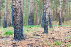 Forest after fire burnt trees closeup. Ecologic background Stock Photos
