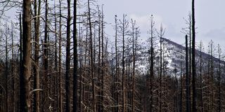 Forest fire damage in yellowstone. National park - view through the bare trees with a mountain in the background. focus on left set of trees, aspect ratio 2:1 stock image