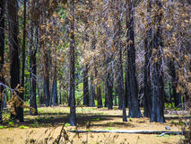 By forest fire damaged trees Stock Photography