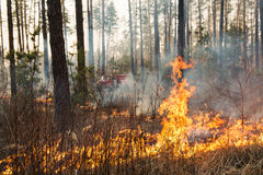 Forest fire in pine stand Stock Image