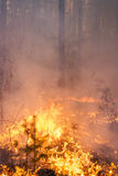 Forest fire in pine stand Stock Images