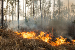 Forest fire in pine stand Stock Photography
