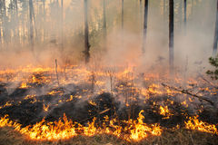 Forest fire in pine stand Royalty Free Stock Image