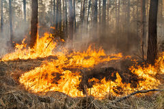 Forest fire in progress Royalty Free Stock Images