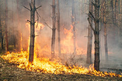 Forest fire in progress Stock Photos