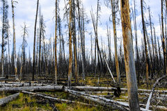 Forest Fire Remnants Yellowstone Stock Images