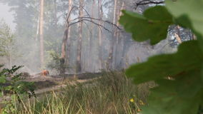 Forest fire, smoke, burning trees. Green vegetation at front. Wind blows smoke stock footage