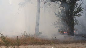 Forest fire, smoke, burnt trees, vegetation and ground. Wind swirls smoke stock footage