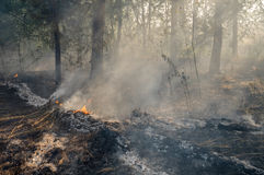 Forest fire in the summer. Burnt forest after passing the front of the fire Royalty Free Stock Photos