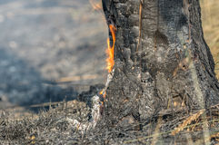 Forest fire in the summer. Charred trunks of trees in a forest after a fire Royalty Free Stock Photo