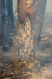 Forest fire in the summer. Charred trunks of trees in a forest after a fire Stock Photo