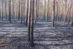 Forest Fire, Wildfire. Burned trees Stock Photography