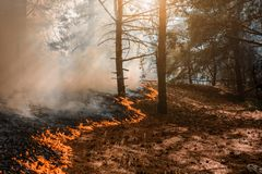 Forest Fire, Wildfire burning tree in red and orange color.  royalty free stock image