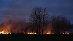 Burning grass and trees at dusk. Forest fire, Wildfire burning tree in red and orange color at night in the forest at dusk stock video