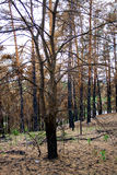 Forest after fire. Royalty Free Stock Images
