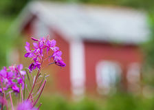 Forest fireweed before Rorbu Royalty Free Stock Photos