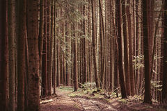 Forest of firs Royalty Free Stock Photo