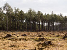 Forest of firs royalty free stock images