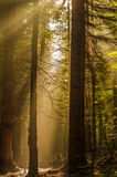 Forest. First sunshine in dark forest Stock Images