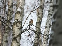 Winter forest!Birds pecking berries! royalty free stock photography