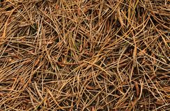 Forest Floor. Covered in pine needles Royalty Free Stock Image