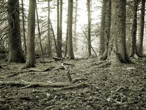 Forest Floor. B&W image of the forest floor showing detail and taken 6 inches off the forest floor royalty free stock images