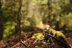 Forest floor Royalty Free Stock Photo