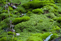 Forest floor covered with fresh moss Stock Images