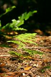 Forest Floor Fern. A Fern on the forest floor Royalty Free Stock Image