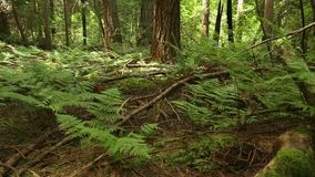 Forest Floor Ferns dolly shot Stock Image