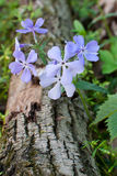Forest floor fragrance. A violet blue petals of a woodland phlox sprout over a fallen tree. The fragrance of the petals can be imagined through this picture royalty free stock image