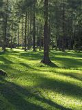 Forest floor with shadows in the evening sun royalty free stock image
