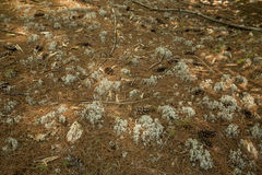 Forest floor with lichens, pine needles and cones in New Hampshi Stock Photography